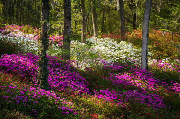 Sc Wall Art - Photograph - Charleston Sc Azalea Flowers And Sunlight - Fairytale Forest by Dave Allen