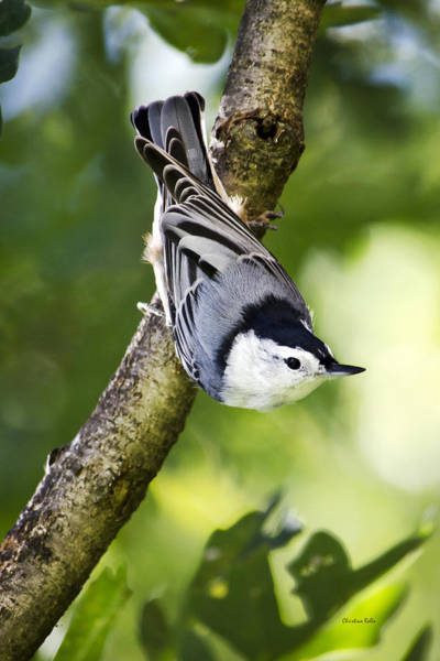 Sitta Carolinensis Photograph - Charming Nuthatch by Christina Rollo