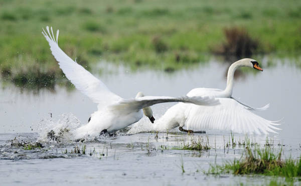 Hessen Photograph - Chasing Swans 1 by Andy-Kim Moeller