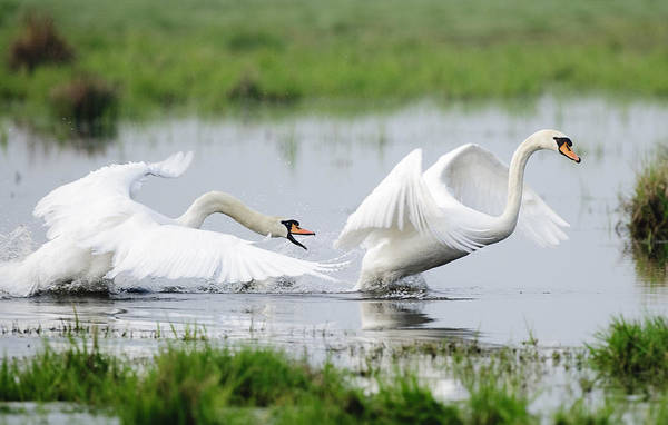 Hessen Photograph - Chasing Swans 2 by Andy-Kim Moeller