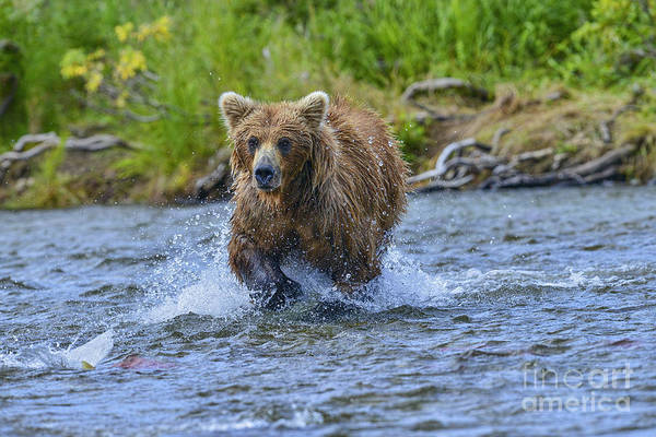 Photograph - Chasing The Elusive Salmon by Dan Friend