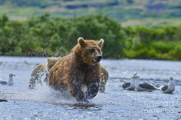 Photograph - Chasing The Salmon Up The Stream by Dan Friend