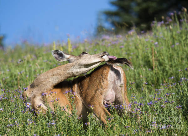 Doe Photograph - Chasing The Tail by Mike Dawson