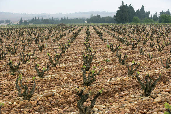 Chateauneuf Photograph - Chateauneuf-du-pape Terroir, Rhone by Clay McLachlan