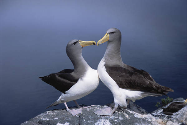 Photograph - Chatham Albatross Courting Pair Chatham by Tui De Roy