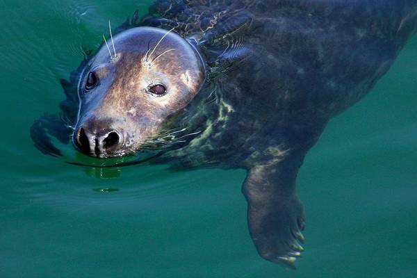 Photograph - Chatham Harbor Seal by Stuart Litoff