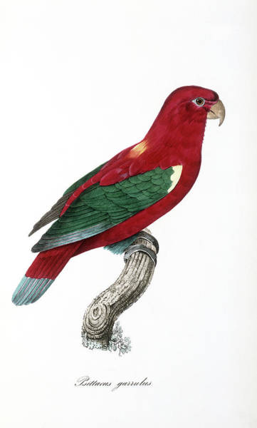 1855 Photograph - Chattering Lory by Natural History Museum, London/science Photo Library