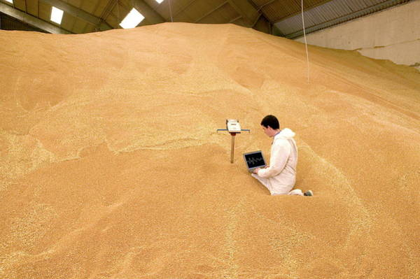 Warehouse Photograph - Checking Wheat For Weevils by Pascal Goetgheluck/science Photo Library