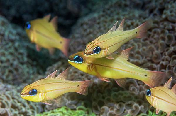 Wall Art - Photograph - Cheek-bar Cardinalfish And Anchor Coral by Georgette Douwma/science Photo Library