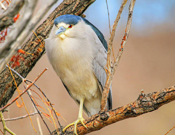 Night-heron Photograph - Chin And Cheeks by Donna Kennedy