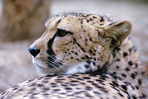 Wall Art - Photograph - Cheetah Acinonyx Jubatus Africa by Animal Images