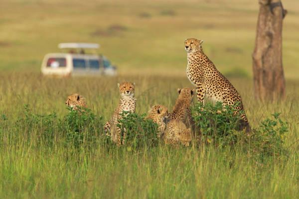 Maasai Photograph - Cheetah (acinonyx Jubatus by Keren Su