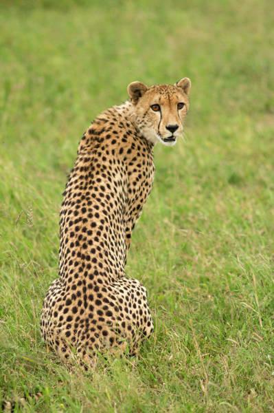 Photograph - Cheetah Acinonyx Jubatus, Kruger by Brogan Parsons