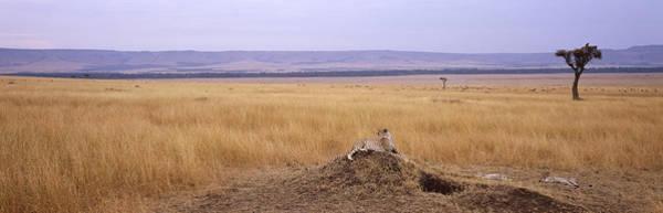 Carnivora Photograph - Cheetah Acinonyx Jubatus Sitting by Panoramic Images