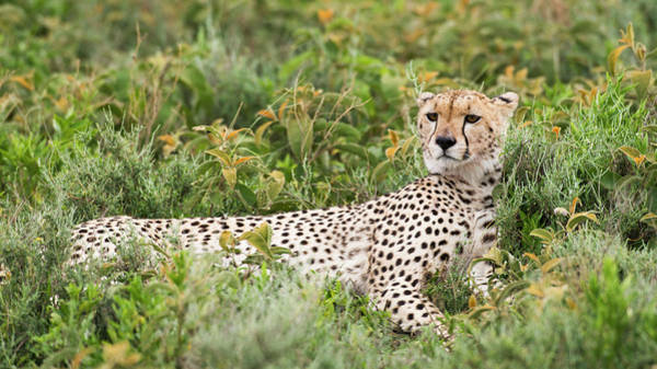 Wall Art - Photograph - Cheetah  Acinonyx Jubatus  With Head by Kenneth Whitten