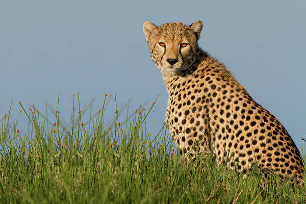 Camouflage Photograph - Cheetah by Alessandro Catta