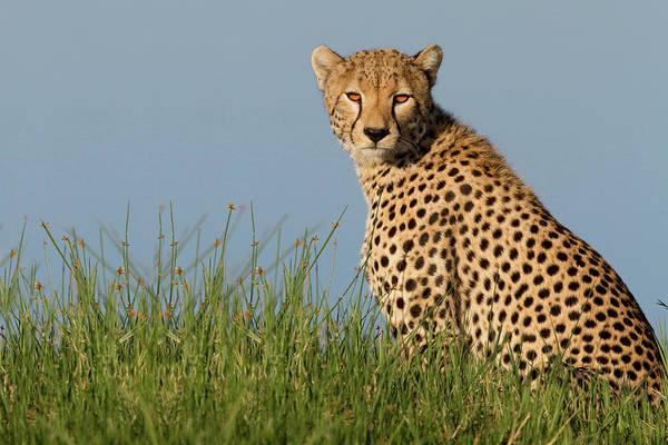 Cheetah Photograph - Cheetah by Alessandro Catta