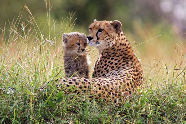 Look Away Photograph - Cheetah And Cub by Wldavies