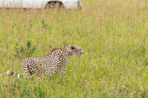 Savannah Photograph - Cheetah And Safari Car At Masai Mara by 1001slide