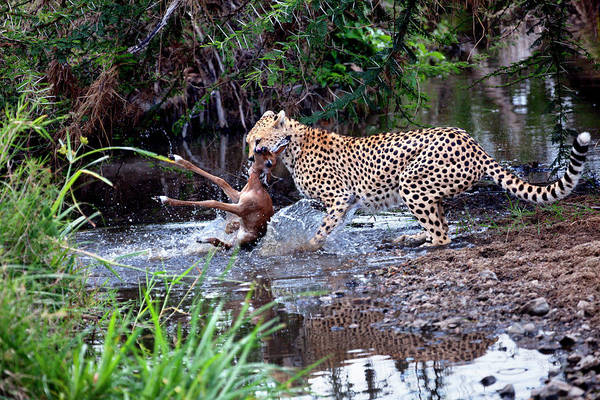 Killing Wall Art - Photograph - Cheetah Catching Prey In The Serengeti by Nicolamargaret