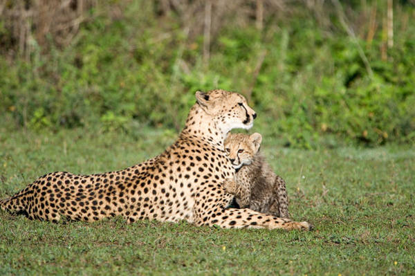 Carnivora Photograph - Cheetah Cub Acinonyx Jubatus Playing by Panoramic Images