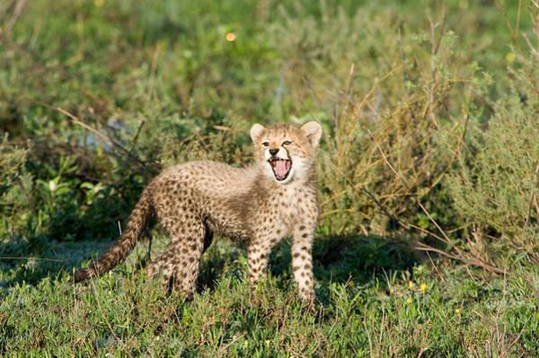 Carnivora Photograph - Cheetah Cub Acinonyx Jubatus Yawning by Panoramic Images