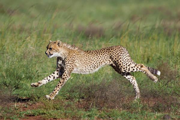 Photograph - Cheetah Cub Running by Suzi Eszterhas