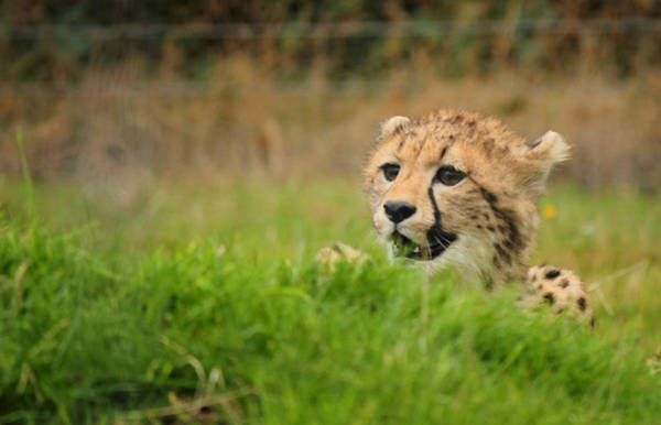 Photograph - Cheetah Cub by Sarah Broadmeadow-Thomas