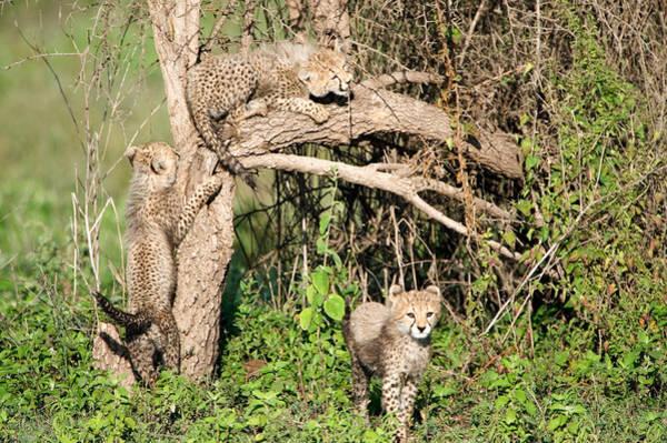 Carnivora Photograph - Cheetah Cubs Acinonyx Jubatus Climbing by Panoramic Images