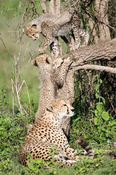Carnivora Photograph - Cheetah Cubs Acinonyx Jubatus by Panoramic Images