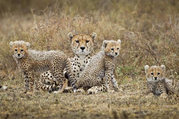 Savannah Photograph - Cheetah Cubs And Mother, Ngorongoro by Paul Souders