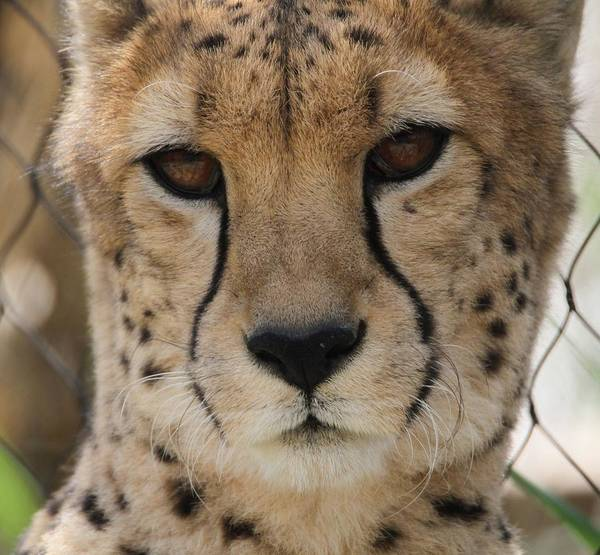 Photograph - Cheetah Eyes by Dan Sproul