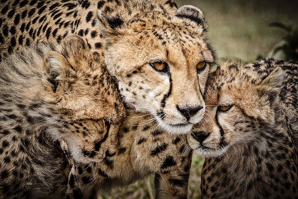 Depth Of Field Photograph - Cheetah Family Portrait by Mike Gaudaur
