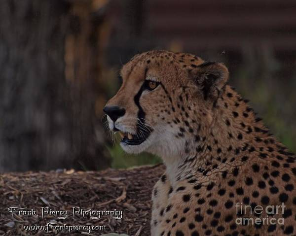 Wall Art - Photograph - Cheetah by Frank Piercy