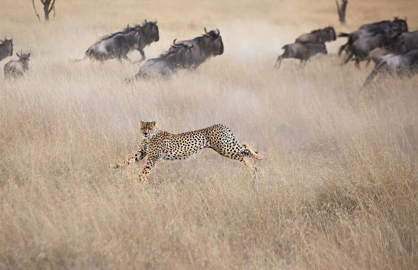 Herd Photograph - Cheetah Hunting by Jun Zuo