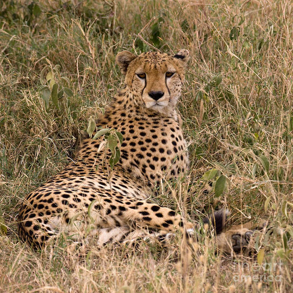 Photograph - Cheetah In Grass by Chris Scroggins