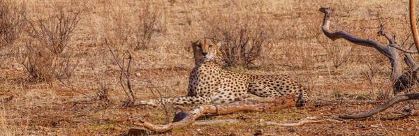 Photograph - Cheetah In Repose by Jim DeLillo