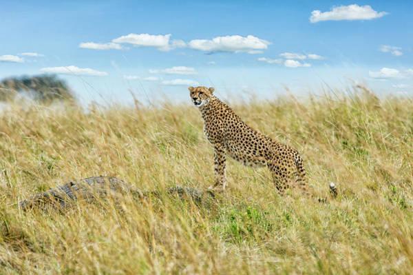 Savannah Photograph - Cheetah In Savannah Grassland by Mike Hill