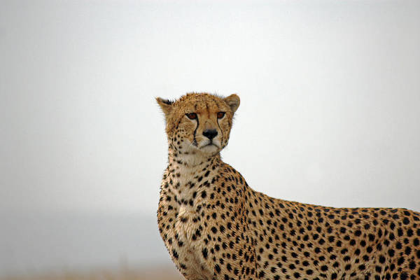 Photograph - Cheetah In Serengeti. by Tony Murtagh