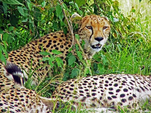 Photograph - Cheetah In The Masai Mara. by Tony Murtagh