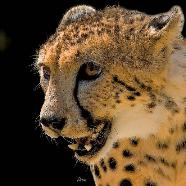 Digital Art - Cheetah by Larry Linton