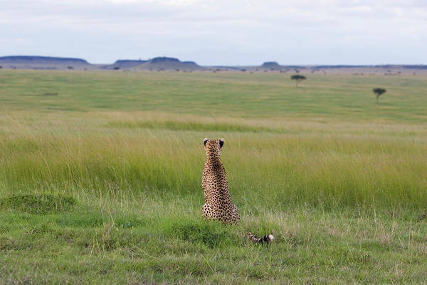Photograph - Cheetah Looking Across The Savanna by Suzi Eszterhas