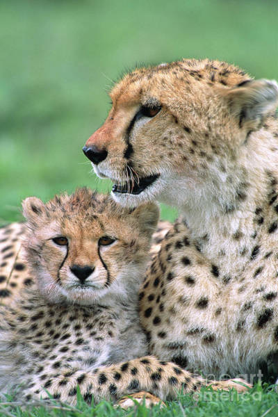 Art Print featuring the photograph Cheetah Mother And Cub by Yva Momatiuk John Eastcott