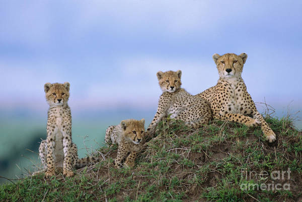 Photograph - Cheetah Mother And Cubs Masai Mara by Yva Momatiuk John Eastcott