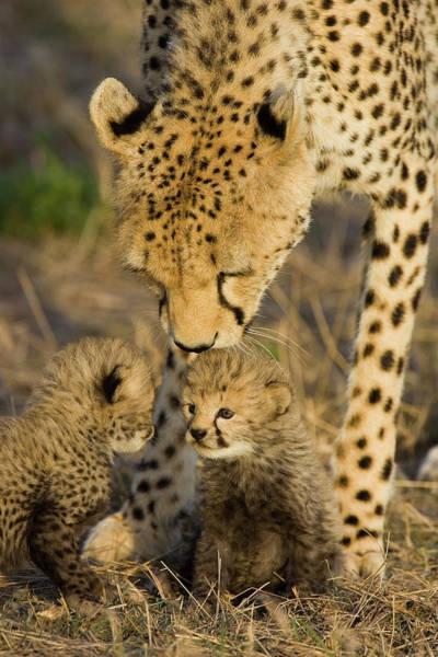 Photograph - Cheetah  Mother Nuzzles Cubs by Suzi Eszterhas