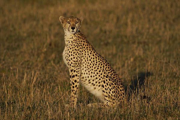 Felidae Wall Art - Photograph - Cheetah On Savanna Masai Mara Kenya by Hiroya Minakuchi