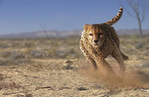 Land Mark Photograph - Cheetah Running by Mark Garlick/science Photo Library