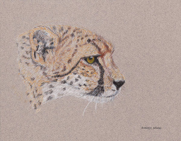 African Animal Drawing - Cheetah by Stephanie Grant