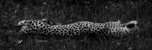 Photograph - Cheetah Stretch by Maggy Marsh