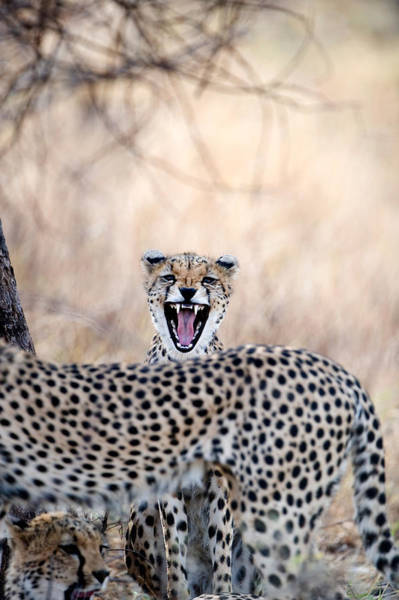 Carnivora Photograph - Cheetahs Acinonyx Jubatus Resting by Panoramic Images
